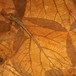 Mulberry Paper with Teak Leaves - ORANGE
